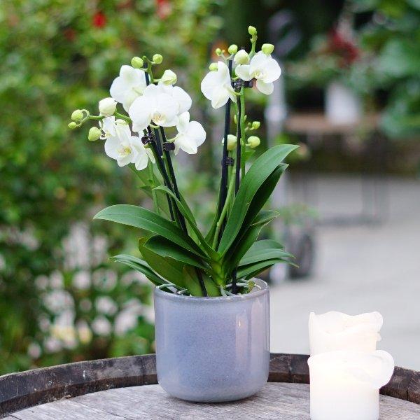 Orchidee weiß Bild 2