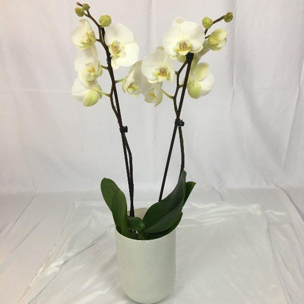 Orchideen- Single im Topf Bild 1