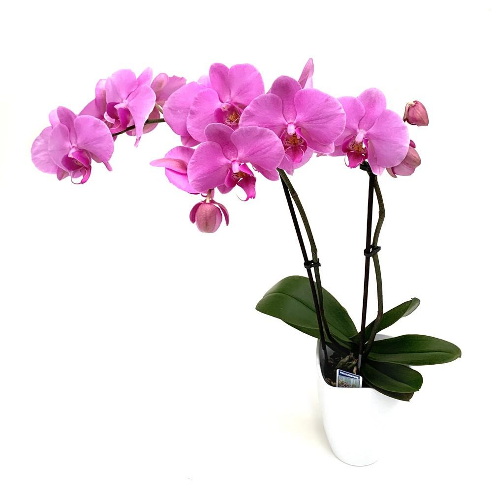Orchidee 2 Blütentriebe Bild 1