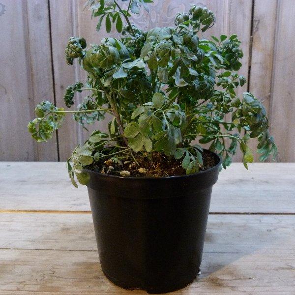 Gartenraute/Weinraute Bild 1