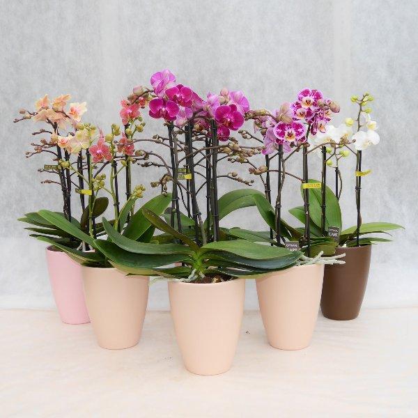Orchidee 3 Risper Bild 1