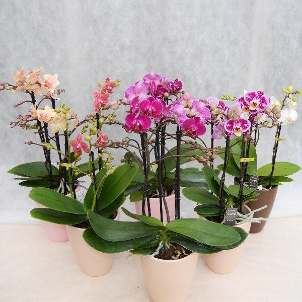 Orchidee 3 Risper Bild 2