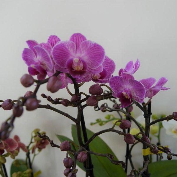 Orchidee 3 Risper Bild 3