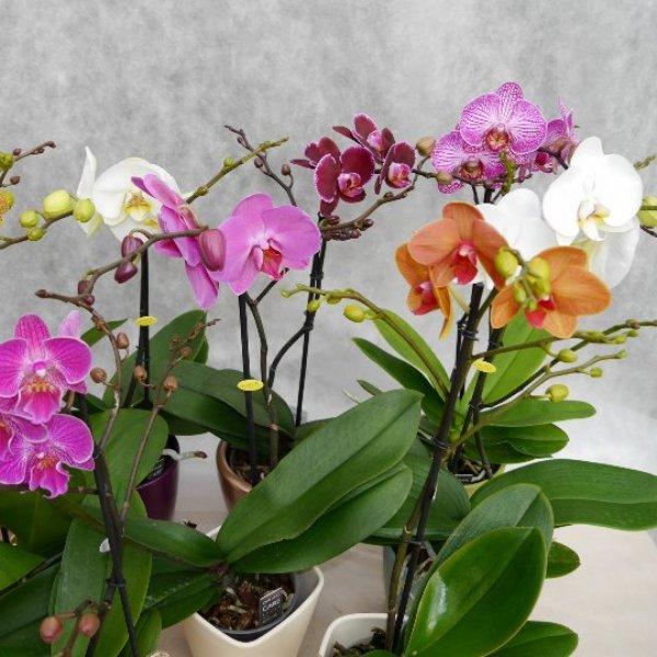 Orchidee 1 Risper Bild 2