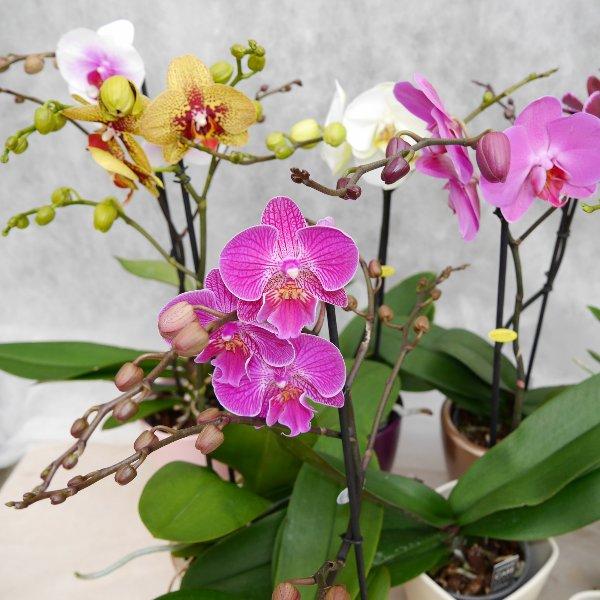 Orchidee 1 Risper Bild 3