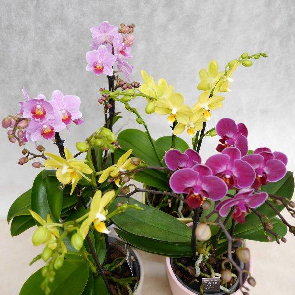 Orchidee 2 Risper Bild 2