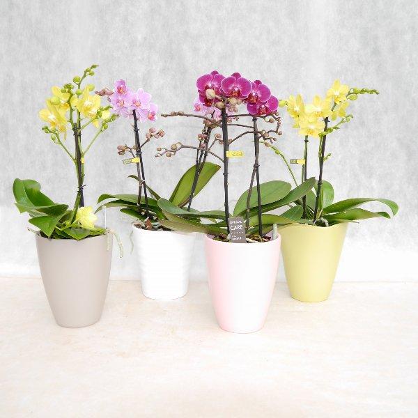 Orchidee 2 Risper Bild 1