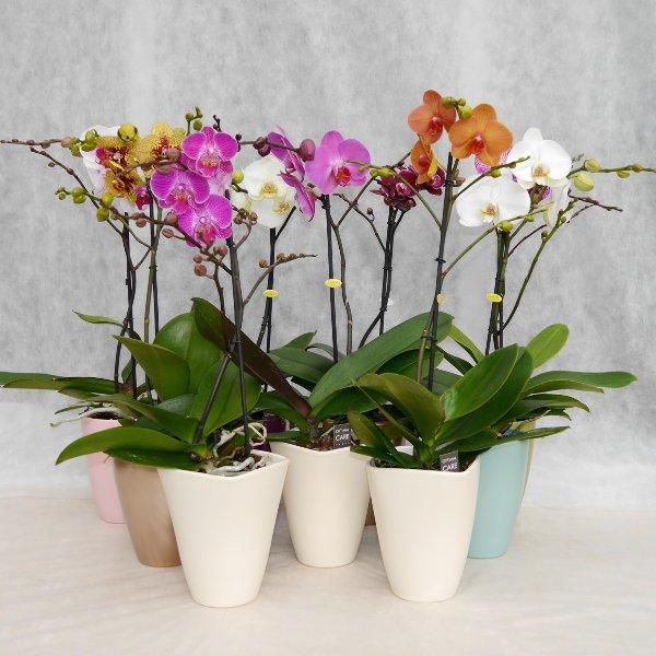 Orchidee 1 Risper Bild 1
