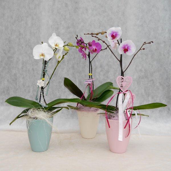 Orchidee 1 Risper aufdekoriert Bild 1