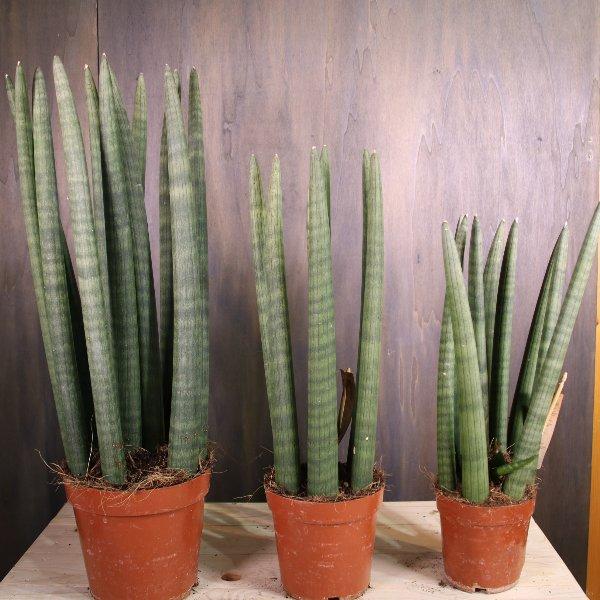 Sansevieria cylindrica (Bogenhanf) Bild 1