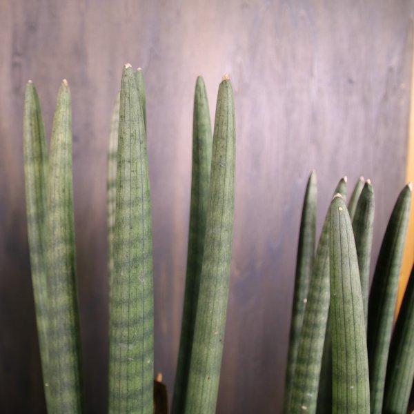 Sansevieria cylindrica (Bogenhanf) Bild 2