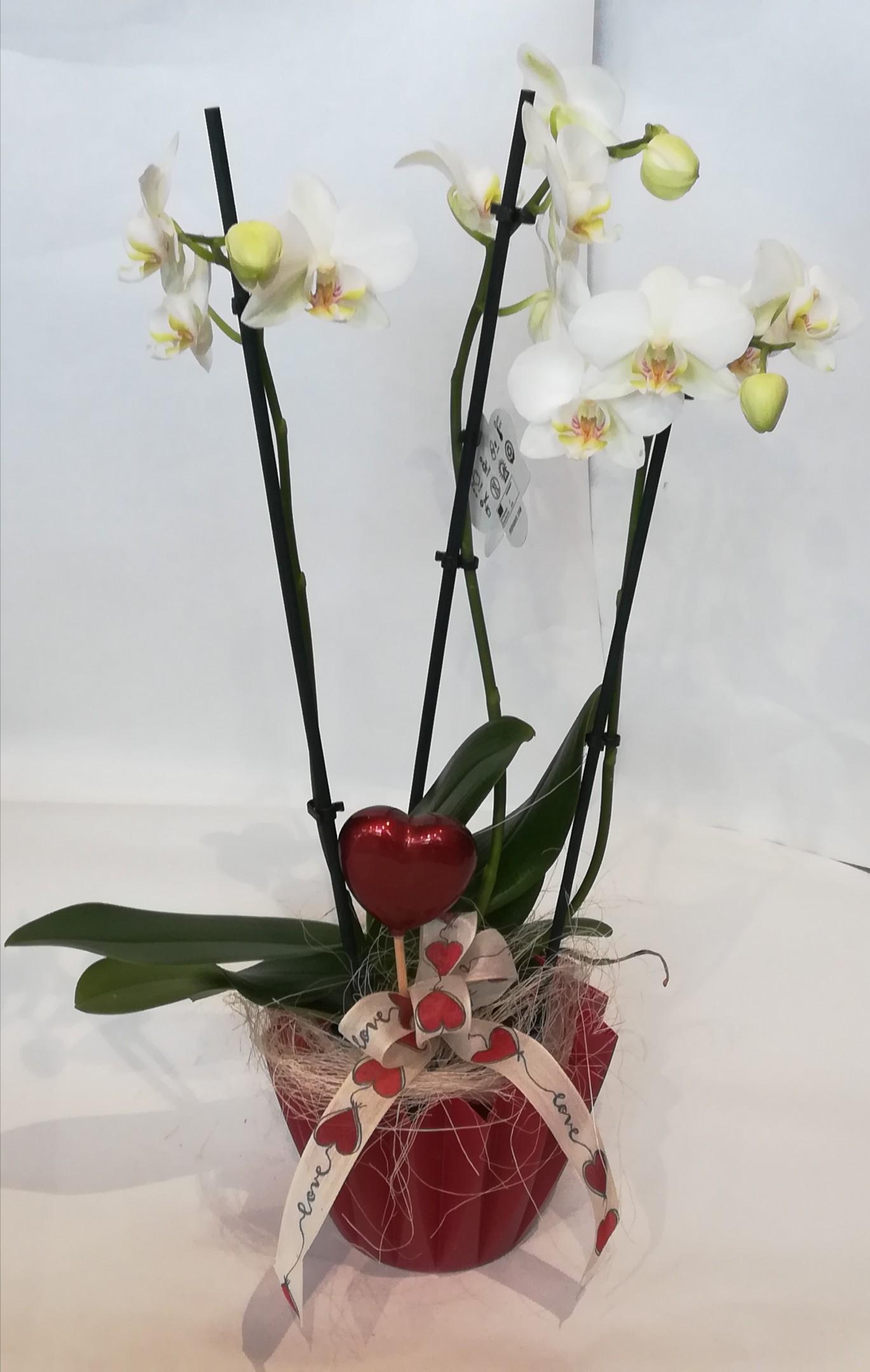 V 12 Phalaenopsis in rot dekoriert Bild 1