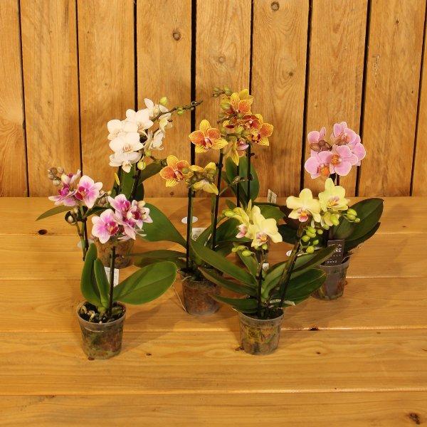 Phalaenopsis Kleinblütig (Mini) Bild 1