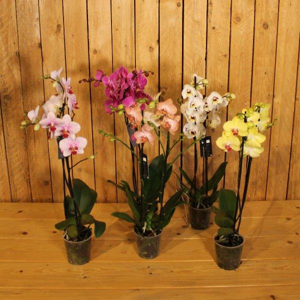 Orchidee 2 Trieber Bild 1