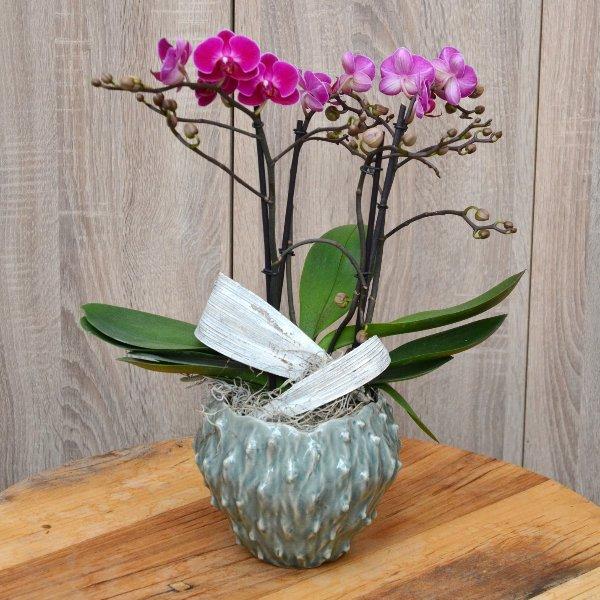 Orchidee mit 4 Rispen mit Topf Bild 1