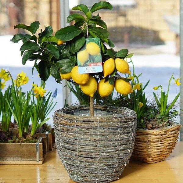 Zitronenbaum Bild 2