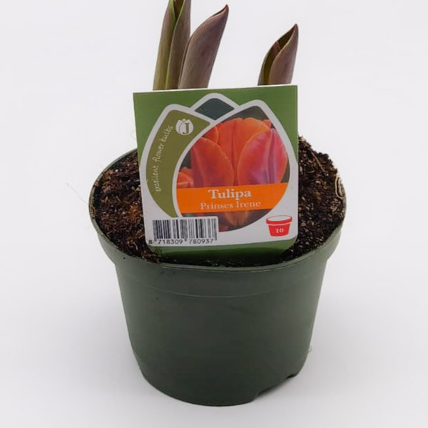Tulpen orange ungefüllt Bild 1