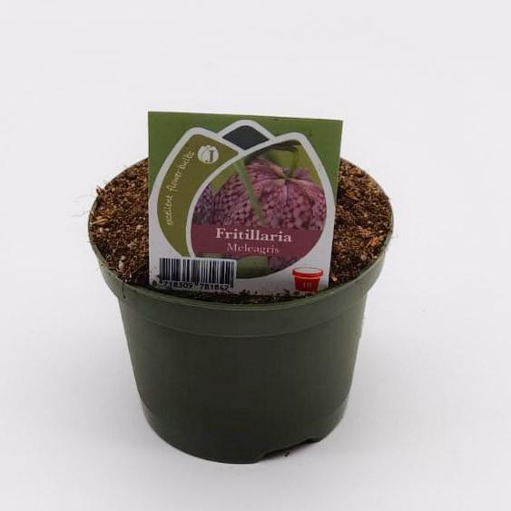 "Frittilaria ""Schachbrettblume"" Bild 1"