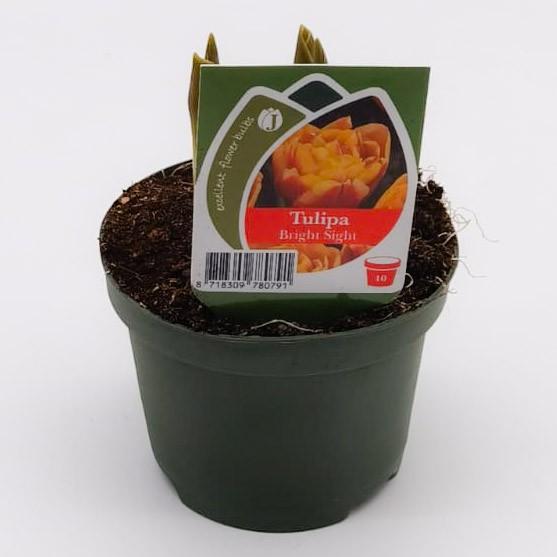 Tulpen orange gefüllt Bild 1