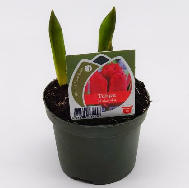 Tulpen rot Bild 1