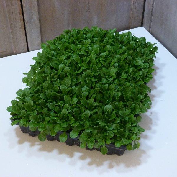 Feldsalat Kiste Bild 1