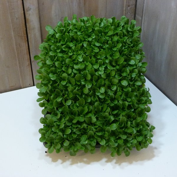 Feldsalat Kiste Bild 2