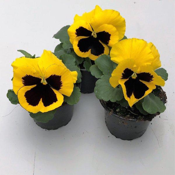 Stiefmütterchen (Viola) in versch. Farben Bild 3