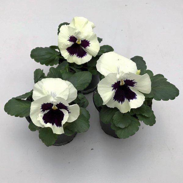 Stiefmütterchen (Viola) in versch. Farben Bild 4