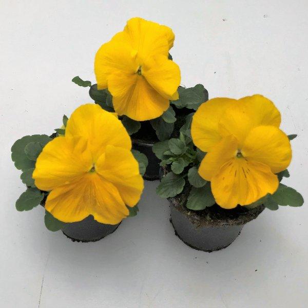 Stiefmütterchen (Viola) in versch. Farben Bild 9