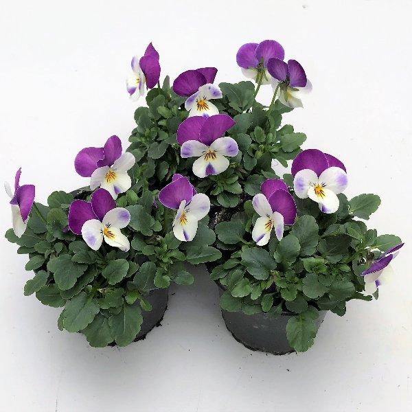 Hornveilchen (Viola) in versch. Farben Bild 5