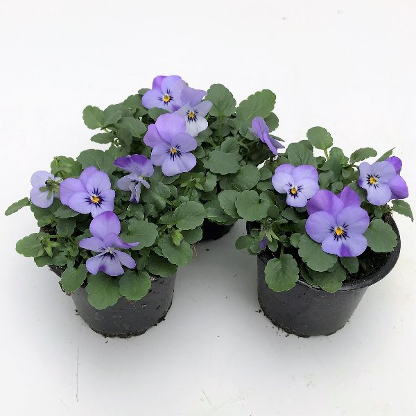 Hornveilchen (Viola) in versch. Farben Bild 8