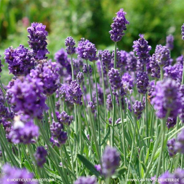 Lavendel Bild 1