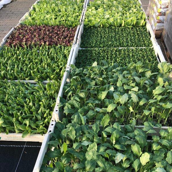 Salat-und Gemüsesetzlinge Bild 1