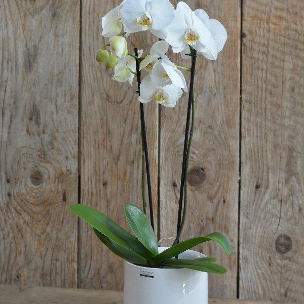 Phalaenopsis Orchidee weiß Bild 1