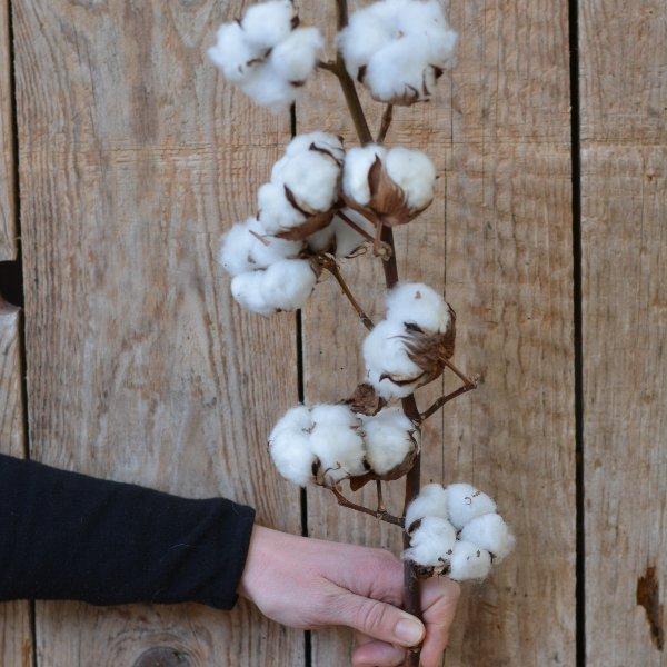 Baumwolle Stiel Bild 2