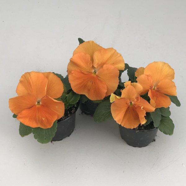 Stiefmütterchen (Viola) in versch. Farben Bild 10