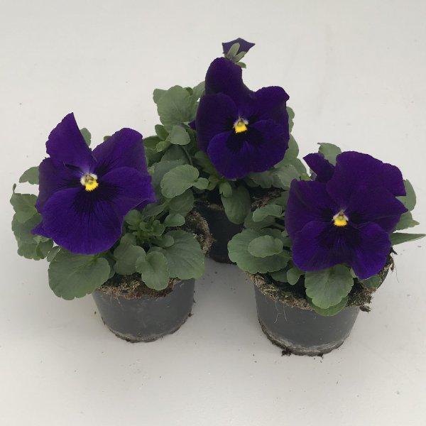 Stiefmütterchen (Viola) in versch. Farben Bild 6