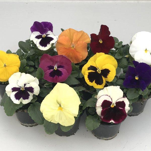 Stiefmütterchen (Viola) in versch. Farben Bild 1