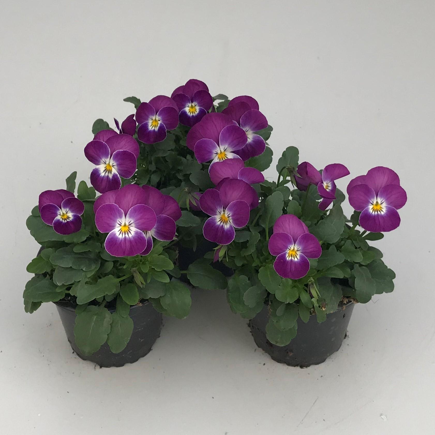 Hornveilchen (Viola) in versch. Farben Bild 9