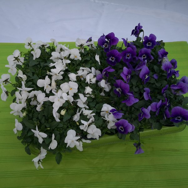 Viola (Hornveilchen) Bild 3
