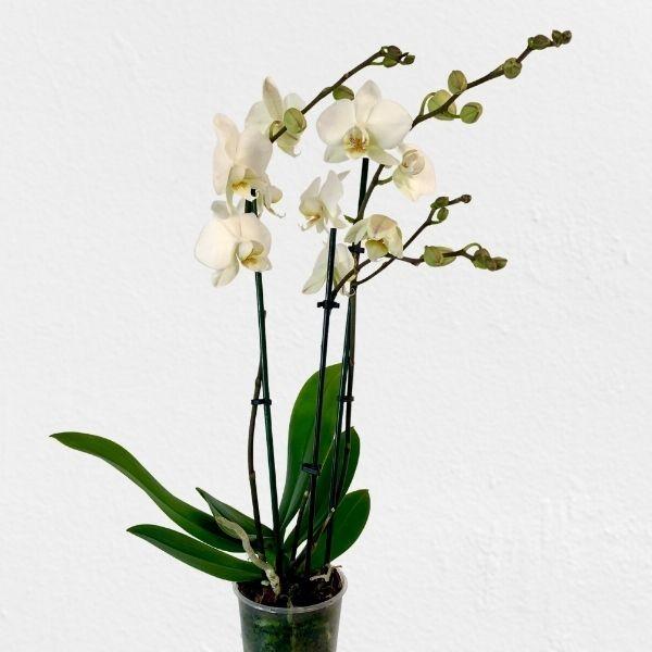 TIMMS ORCHIDEE Bild 1