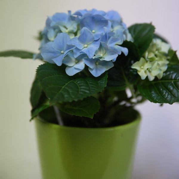 Topfpflanze als Geschenk Bild 1