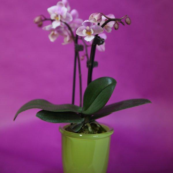 Topfpflanze als Geschenk Bild 2