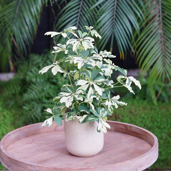 """Schefflera arboricola """"Charlotte"""" Bild 2"""