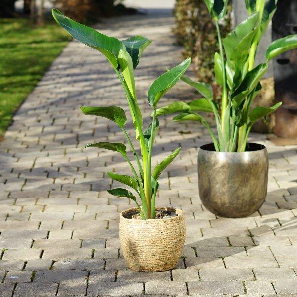 Strelitzia nicolai Bild 1