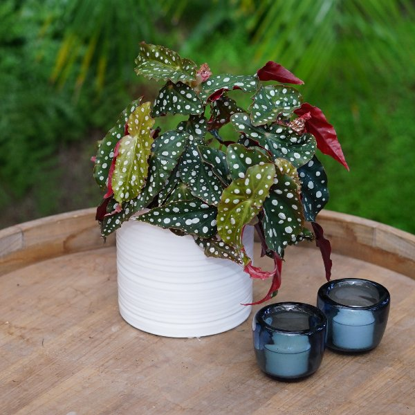 Begonia maculata Bild 2