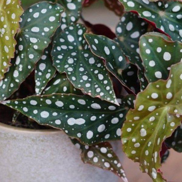 Begonia maculata Bild 3