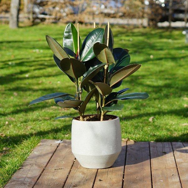 Ficus elastica Bild 1