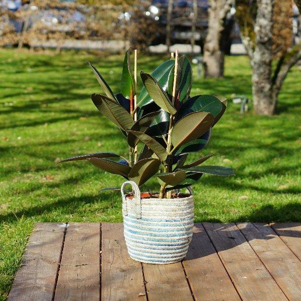 Ficus elastica Bild 2