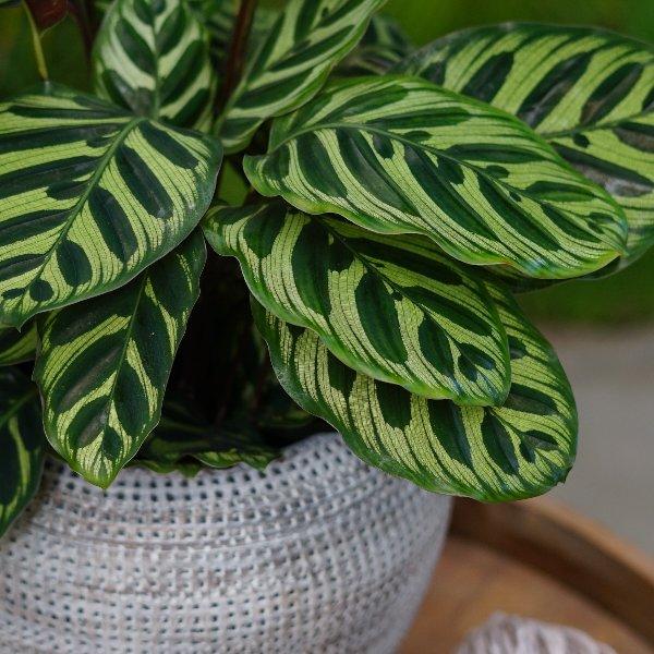 Calathea makoyana Bild 2